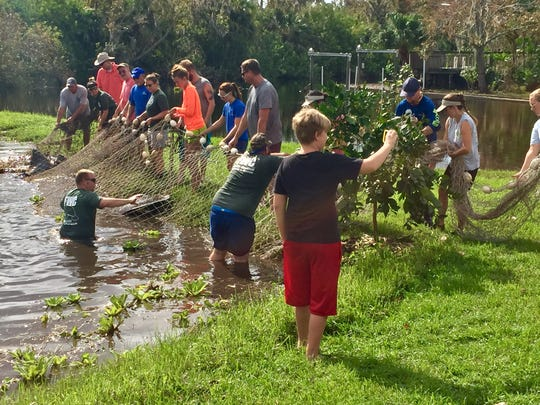 Manatees seeking warmth, food or water sometimes get stuck in residential canals, like this one days after Hurricane Irma last year. Armed with a large net, volunteers prepared to haul the 1,000-pound manatee from a backyard pond in Melbourne. Photo credit by Rick Neale, FLORIDA TODAY