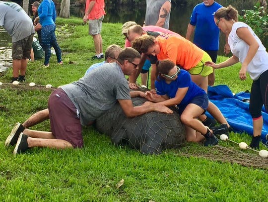 Volunteers help prevent an adult manatee from trashing
