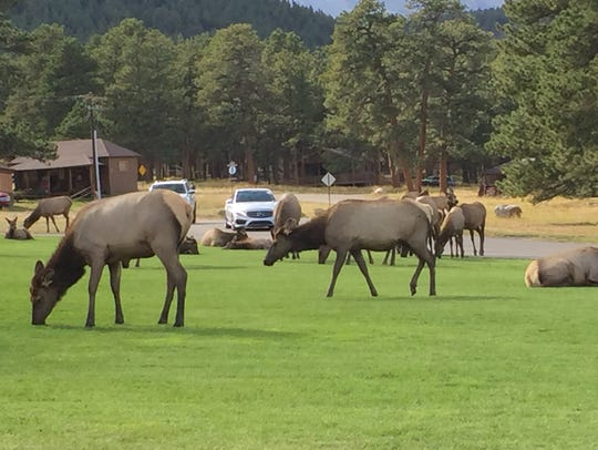 Elk gather on a lawn at YMCA of the Rockies near Estes