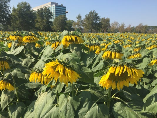 Droopy sunflowers