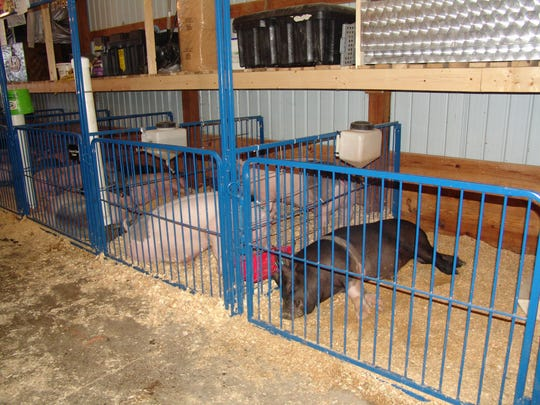 Many hogs were napping before 4-Hers prepped them for the ring on Sunday at the Coshocton County Fair.