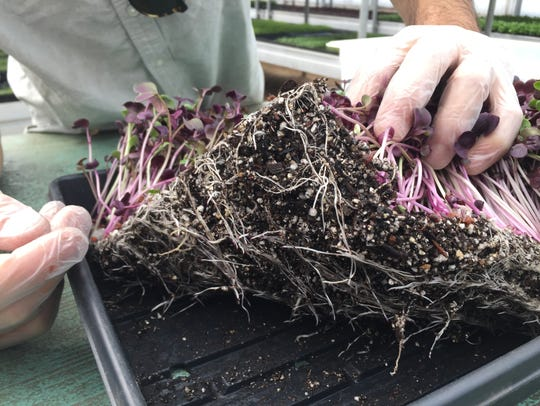 Joseph Martinez, co-owner of Arizona Microgreens, shows