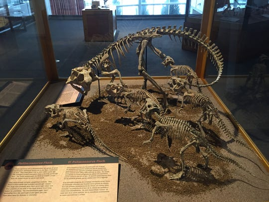 A group of psittacosaurus cast skeletons, five juveniles