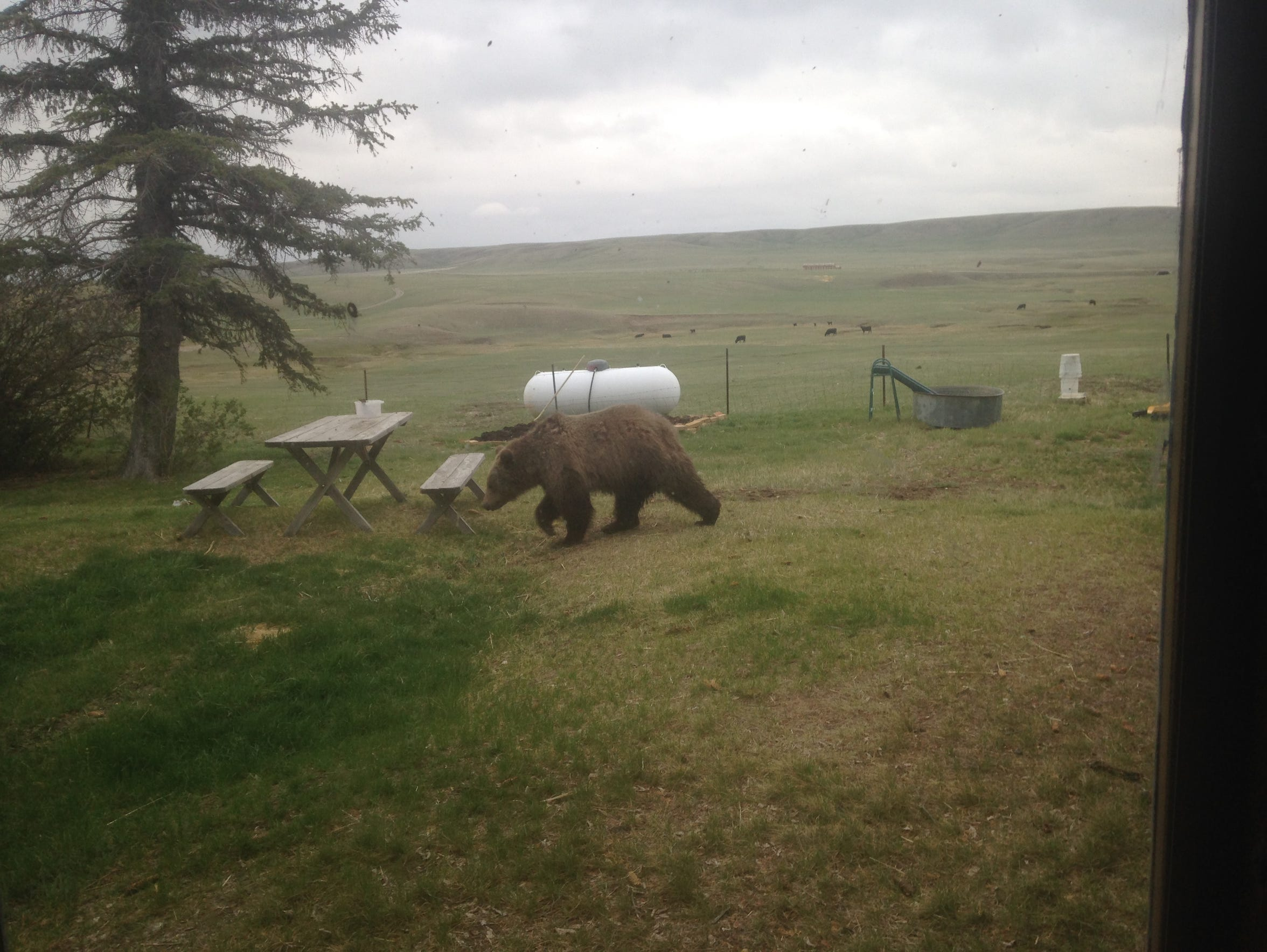 This young grizzly showed up at the Graham Ranch near
