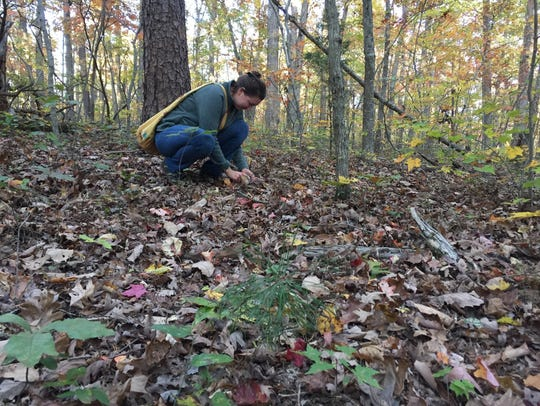 """Leslie Potts does some """"spider collecting"""" at Berea College Forest in Berea, Ky."""