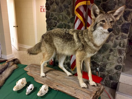 A stuffed coyote was displayed during last week's Florida