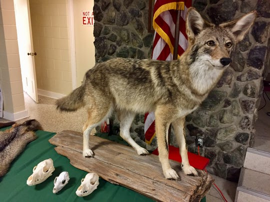 A stuffed coyote was displayed during last week's Florida Fish and Wildlife Conservation Commission coyote town hall at the Satellite Beach Civic Center.
