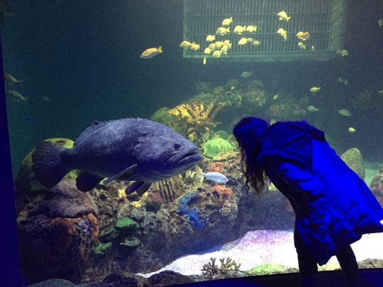 A visitor goes nose to nose with a 300-pound goliath grouper at WOW aquarium and museum.