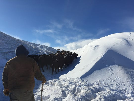 Cattle make their way through deep snow on a Blackfeet Reservation ranch. Deep snow, wind and cold is making it difficult for cattle to survive in some locations.