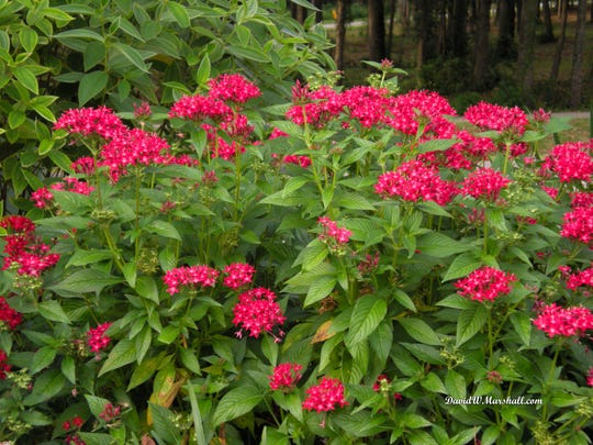 Pentas can be planted in mid to late March and will give color until late fall. Plant in full sun to light shade.