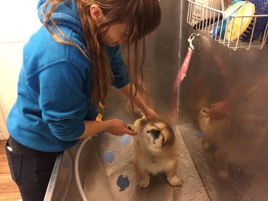 Clifford enjoys a rinse from bather Andrea Matlock at Animal House Rescue and Grooming.