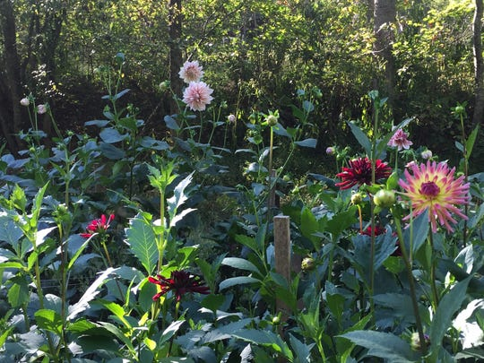 The dahlia field at Carolina Flowers will include more