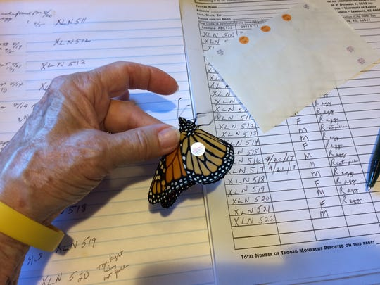 Kathleen Palmer applies a tag to a monarch butterfly.