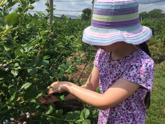All ages can enjoy blueberry-picking.
