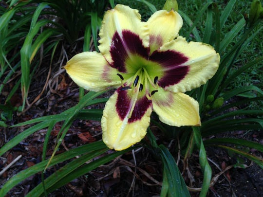 """""""Tar and Feather"""" woke up after an overnight dousing, signaling it's the beginning of the daylily bloom season."""