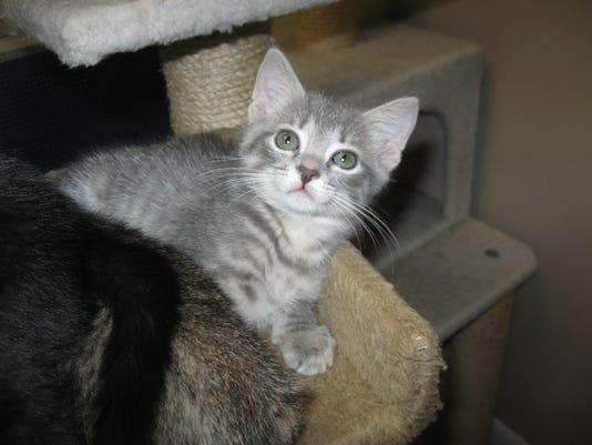 0523-ynir-cm-gray-kitten.jpg