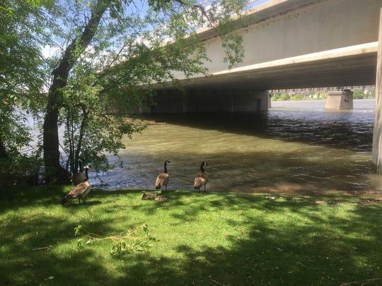 The Missouri River was bank-full at Great Falls Monday.