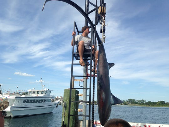 A thresher shark landed by sport fishermen is weighed