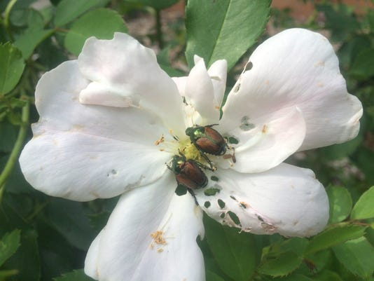 636670788493186660-Japanese-beetle-adults-on-rose.JPG