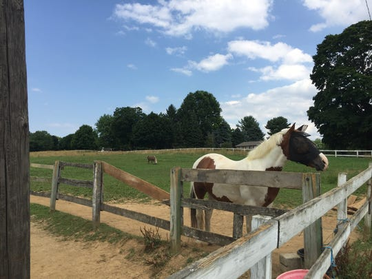 636680434942317722-IMG-3924.JPG A horse in a pasture at Quentin Riding Club July 12, 2018.