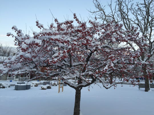 A snowy Burlington tree, seen at daybreak Thursday.