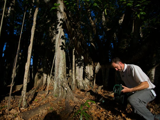Matt Andres, a curatorial registrar at the Edison and Ford Winter Estates, installs lights around the great banyan tree on Wednesday at the estates in Fort Myers. There will be a grand reopening celebration at the estates on Friday evening.