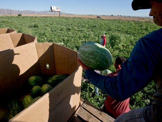 Migrant workers harvesting watermelons in 2013 on Northern