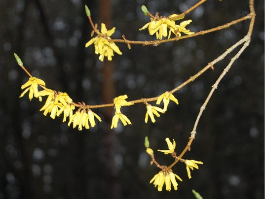 635971847134800675-05.01.16---Vibrant-Yellow-Buds.jpg