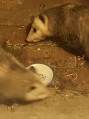 These oppossums came around to Kim Moorman's home for some cat food.