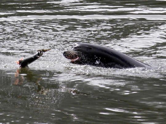 Killing Sea Lions Salmon