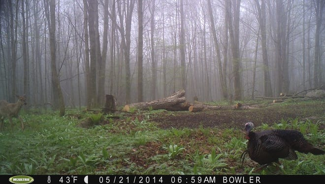 A double-bearded tom turkey and a deer share the frame in the same photo.