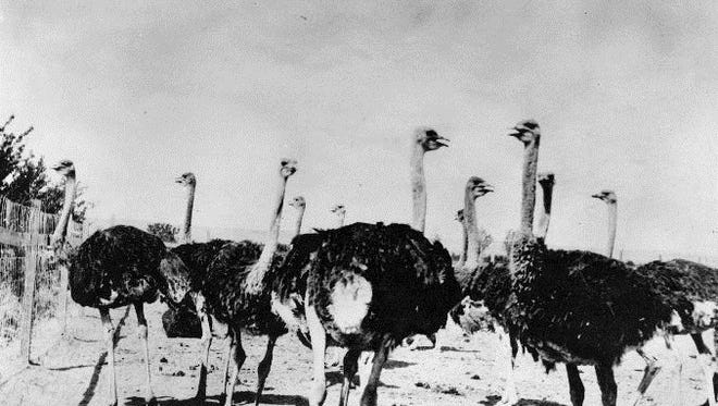 Ostrich farm, Lower Valley, 1913. Lemley & Schwabe, props.