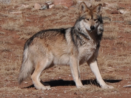 mexican gray-wolf