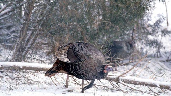 Turkey hunting in Kentucky.