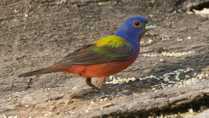 Painted buntings are sexually dimorphic, which means
