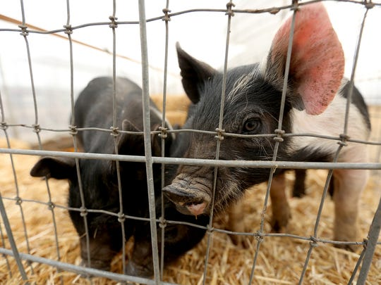 Piglets are in the petting zoo at Greens Bridge Gardens in Jefferson.