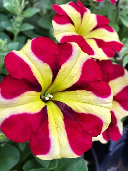Petunia Amore Queen of Hearts