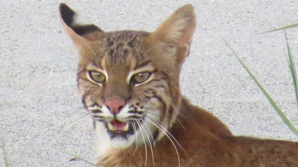 This bobcat was spotted June 19, 2018, in south Cocoa