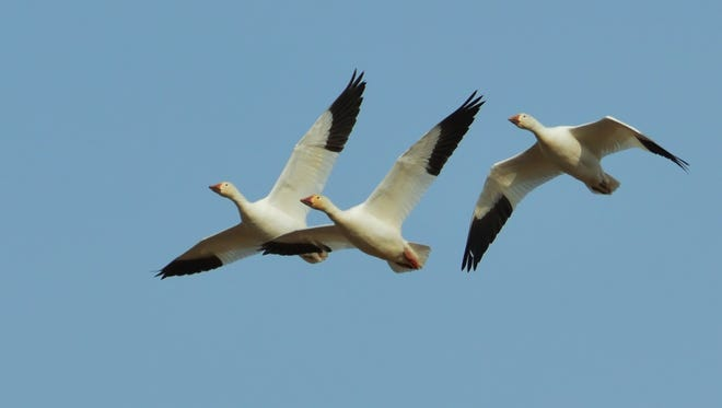 The arrival of the snow geese is ahead of schedule at Middle Creek.