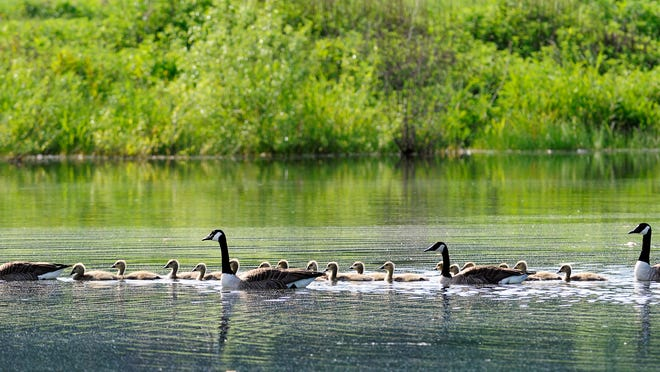Canada geese on the pond at Stringham Park in the Town of LaGrange.