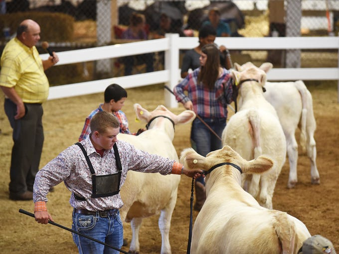 Contestants show Charolais during the beef breeding