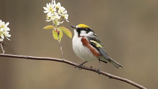 The chesnut-sided warbler is one type of warbler found in Wisconsin in the summer.