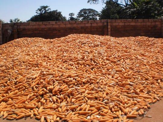 "A pile of ""orange corn"" in Zambia."