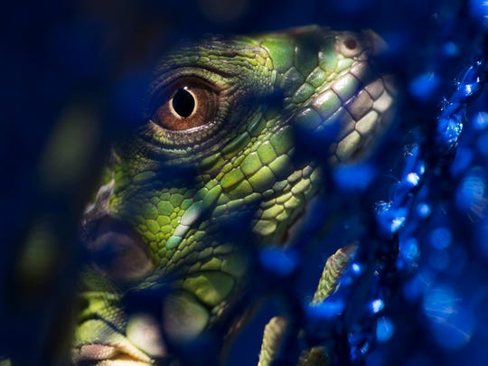 A young iguana is seen through the holes in net after it was caught on Sanibel Island. The reptiles are exotic and have been taking over parts of the island. A trapper has a permit to remove them.