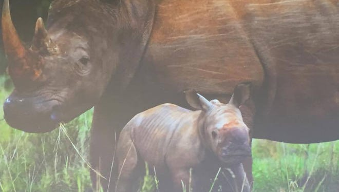 A picture of African Rhinos provided by Dr. William Fowlds, an African wildlife veterinarian and conservationist. Fowlds spoke to students from Arizona Agribusiness and Equine Center High School at Mesa Community College's Red Mountain campus on May 3, 2017, about the dire circumstances that animals, particularly rhinos, face in the wild due to poaching.