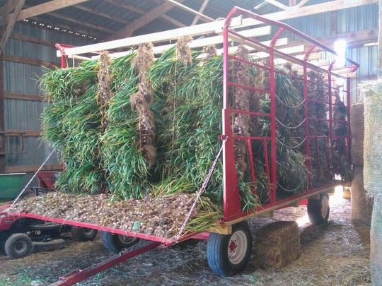 Hay wagons full of garlic have been harvested for Schrauth