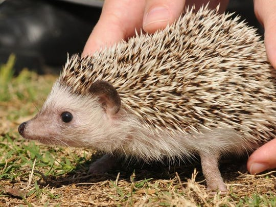 """Along with """"Merlin"""" the Africa pygmy hedgehog from a previous exotic pet amnesty day."""