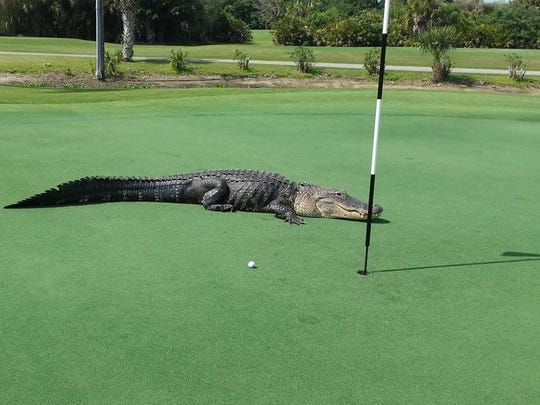 This 12-foot alligator joins the game at the 7th hole, giving Myakka Pines Golf Club national attention.