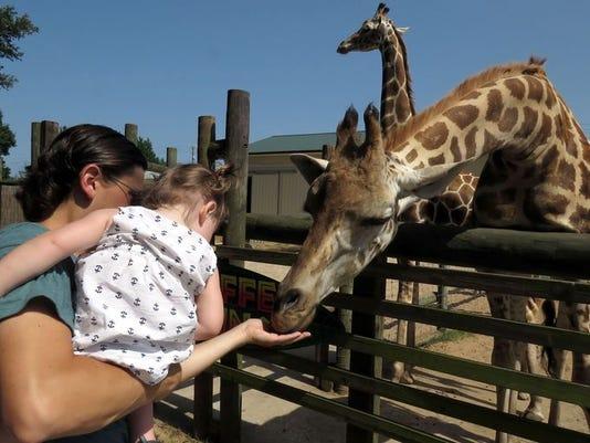 635729782590354425-giraffe