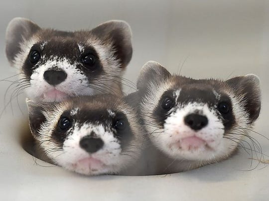 Black-footed ferrets being reintroduced across the West owe their existence to a parcel of land near Meeteetse, Wyo.